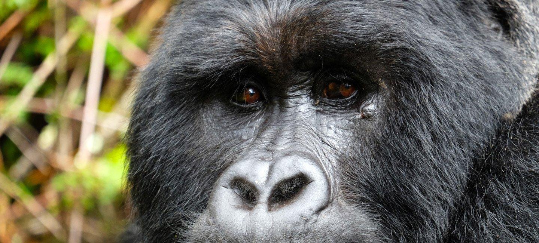 Uganda – Der Boss im Dschungel